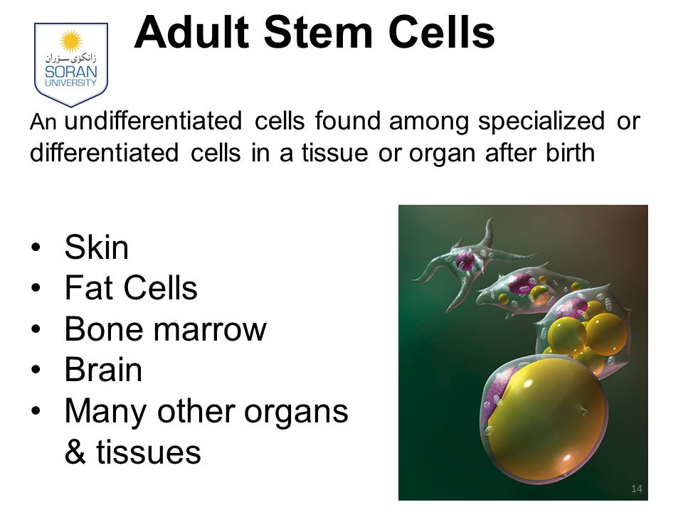 Adult Stem Cells Skin Fat Cells Bone marrow Brain