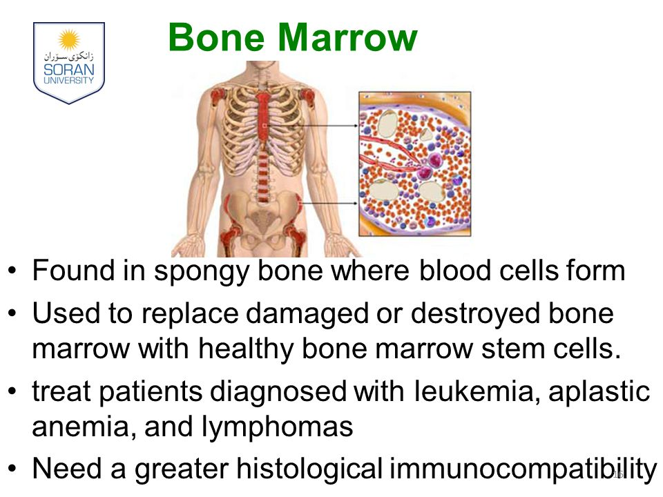 Bone Marrow Found in spongy bone where blood cells form