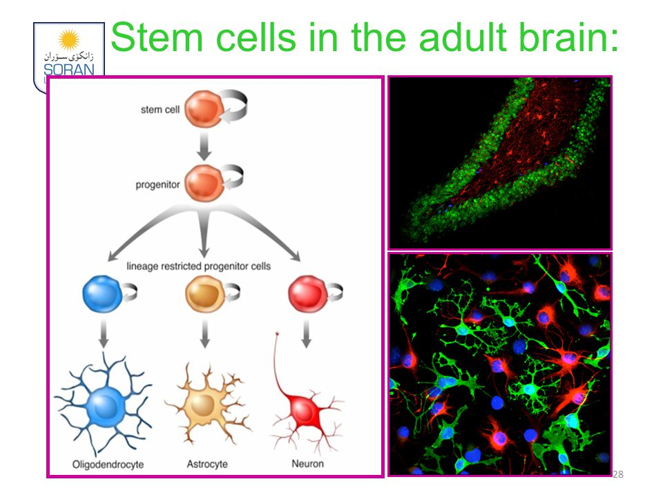 Stem cells in the adult brain: