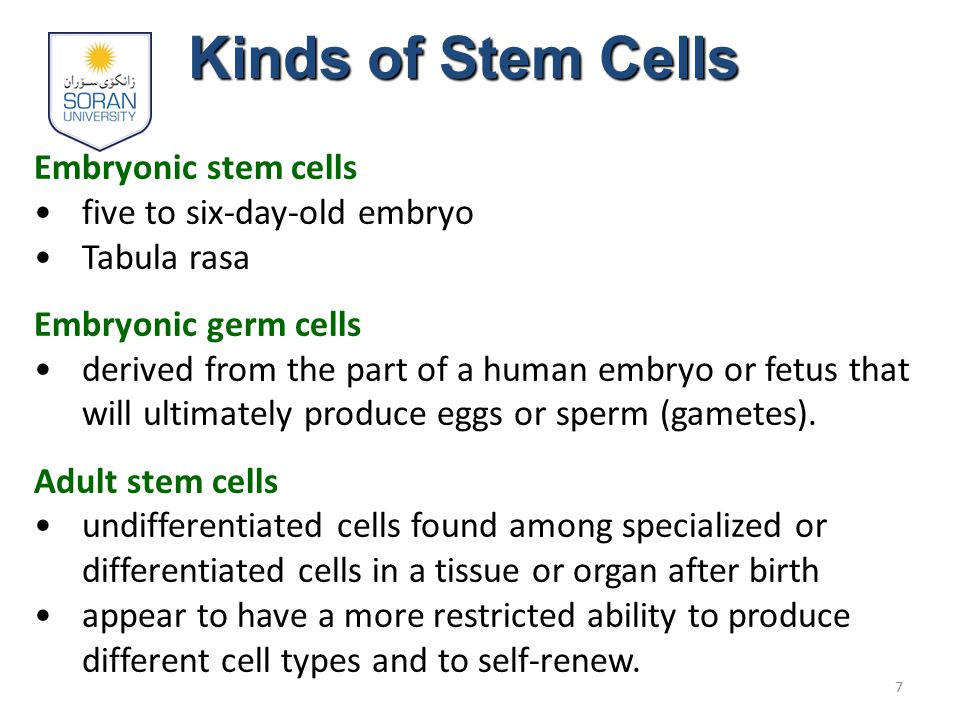 Kinds of Stem Cells Embryonic stem cells five to six-day-old embryo