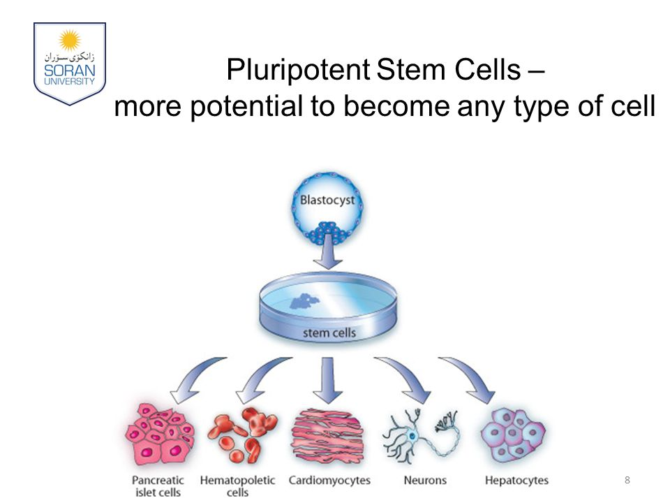 Pluripotent Stem Cells – more potential to become any type of cell