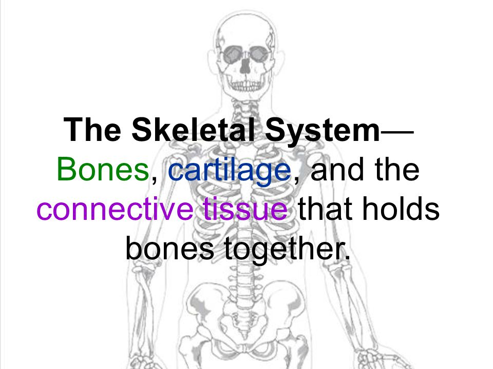 The Skeletal System—Bones, cartilage, and the connective tissue that holds bones together.