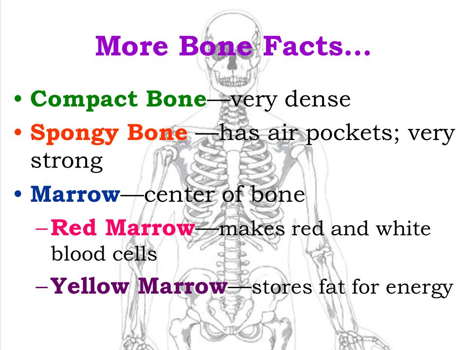 More Bone Facts… Compact Bone—very dense