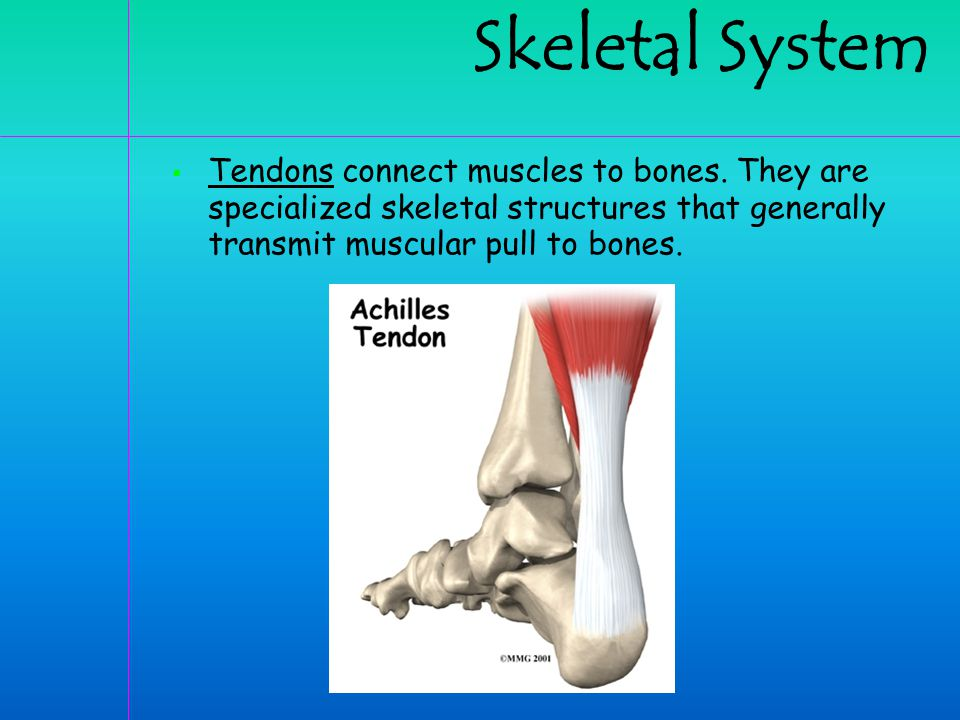 Skeletal System Tendons connect muscles to bones.