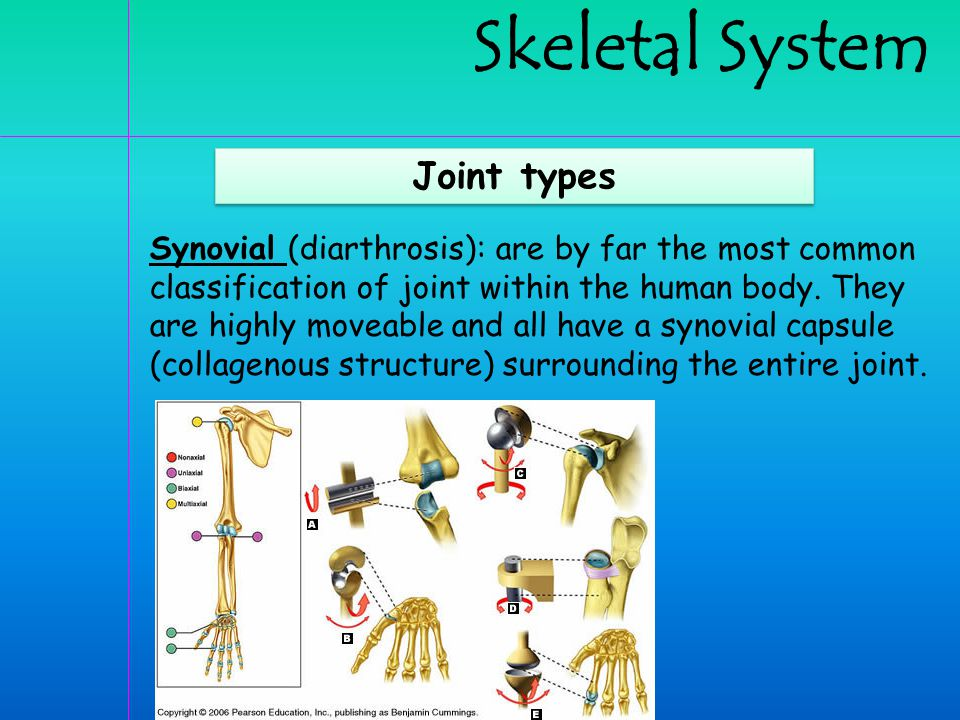 Skeletal System Joint types