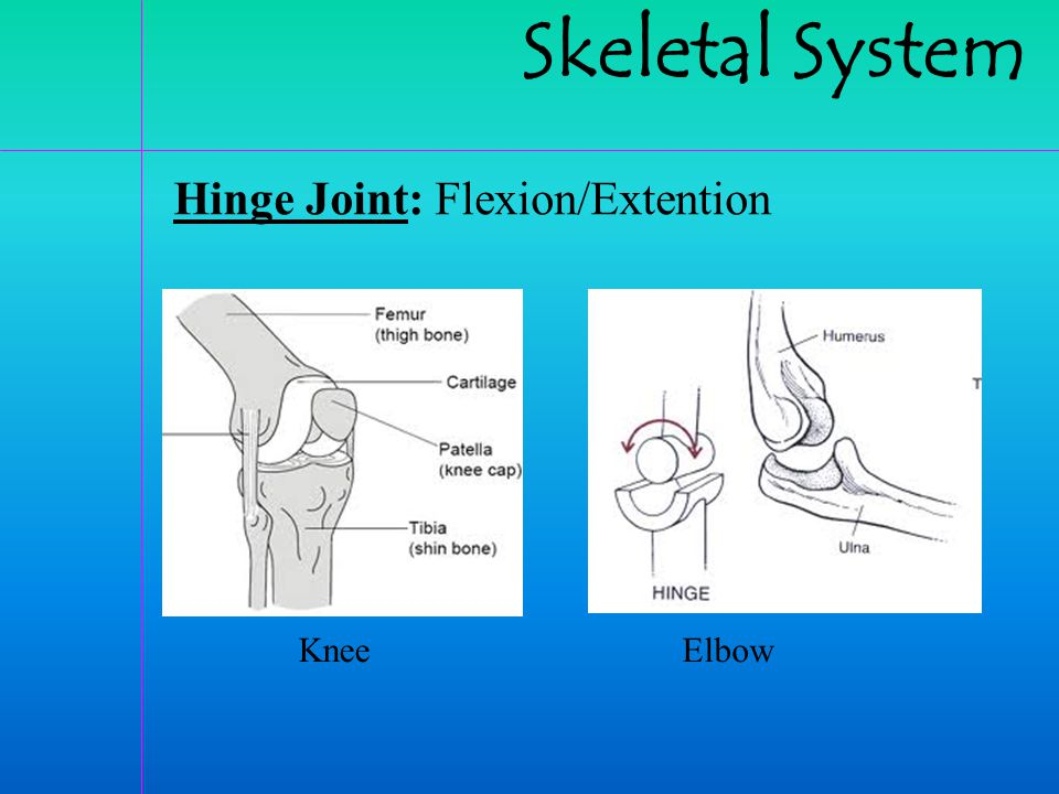 Skeletal System Hinge Joint: Flexion/Extention Knee Elbow