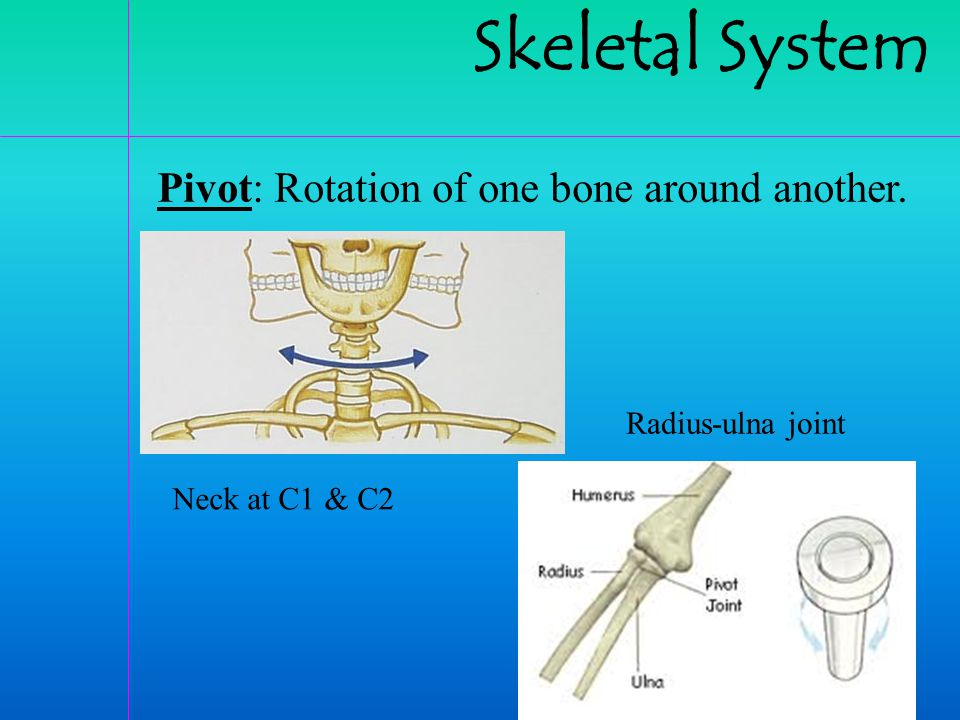 Skeletal System Pivot: Rotation of one bone around another.