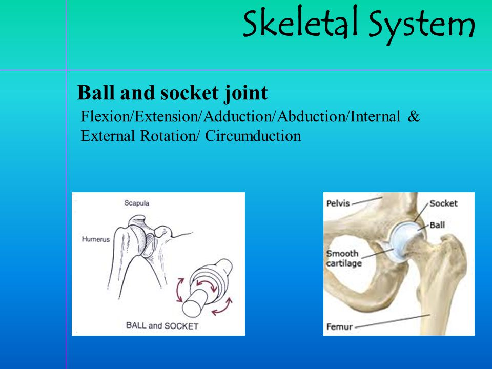 Skeletal System Ball and socket joint