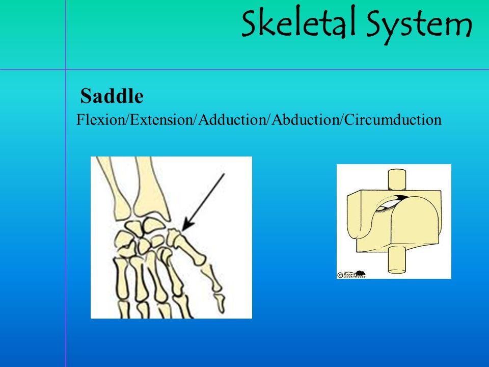 Skeletal System Saddle