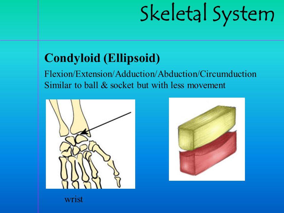 Skeletal System Condyloid (Ellipsoid)