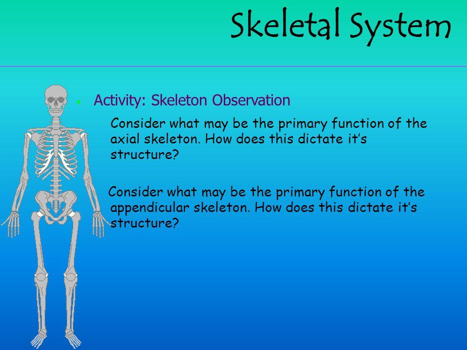 Skeletal System Activity: Skeleton Observation