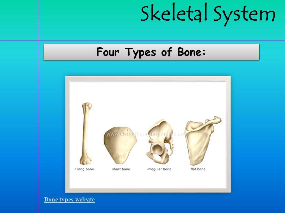 Skeletal System Four Types of Bone: Bone types website