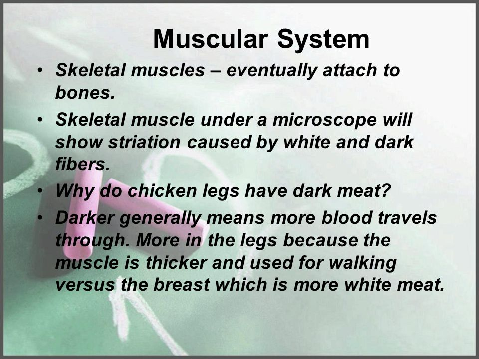 Muscular System Skeletal muscles – eventually attach to bones.