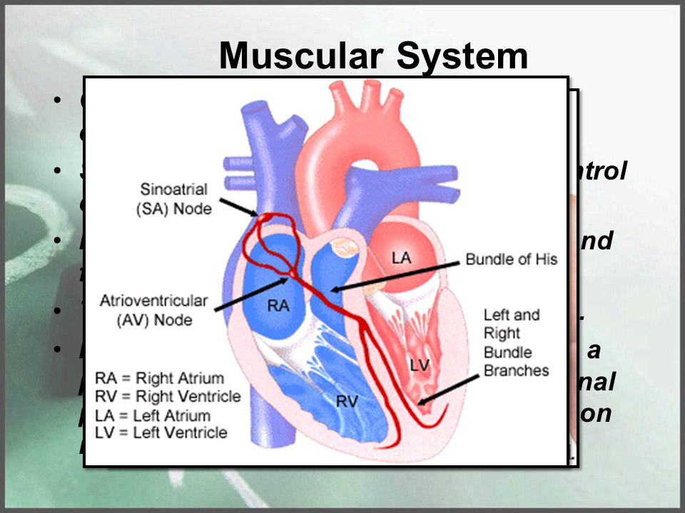 Muscular System Cardiac muscle – is somewhat a combination of smooth & skeletal. Smooth because the person has no control over them.
