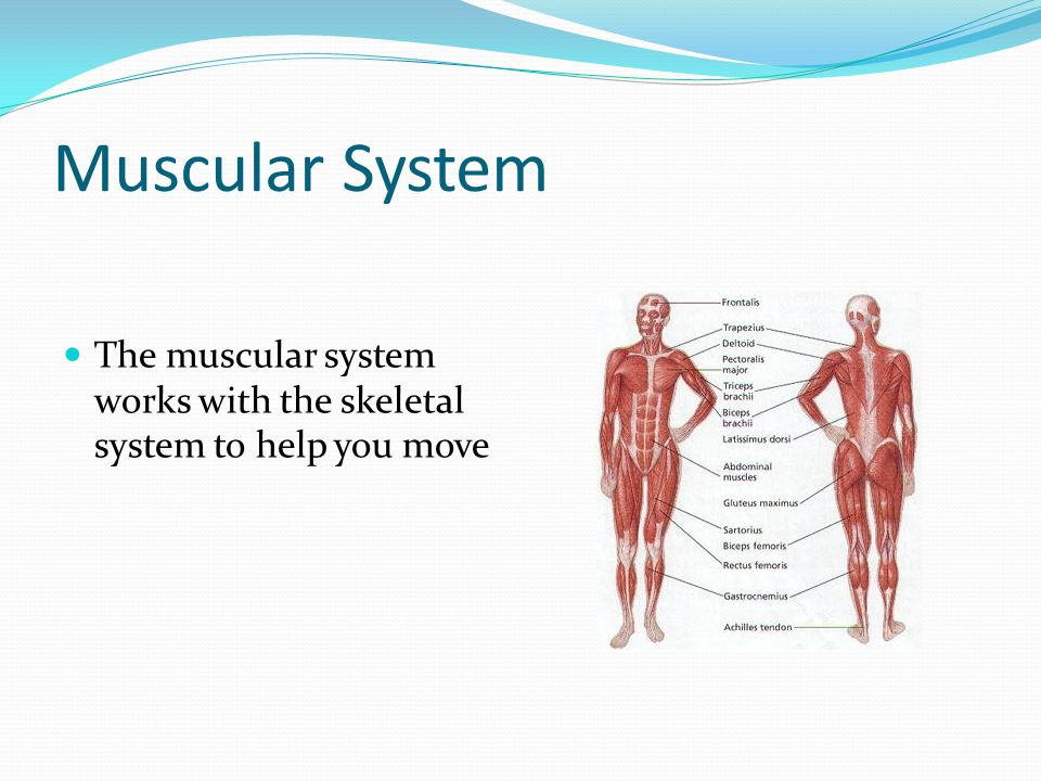 Muscular System The muscular system works with the skeletal system to help you move