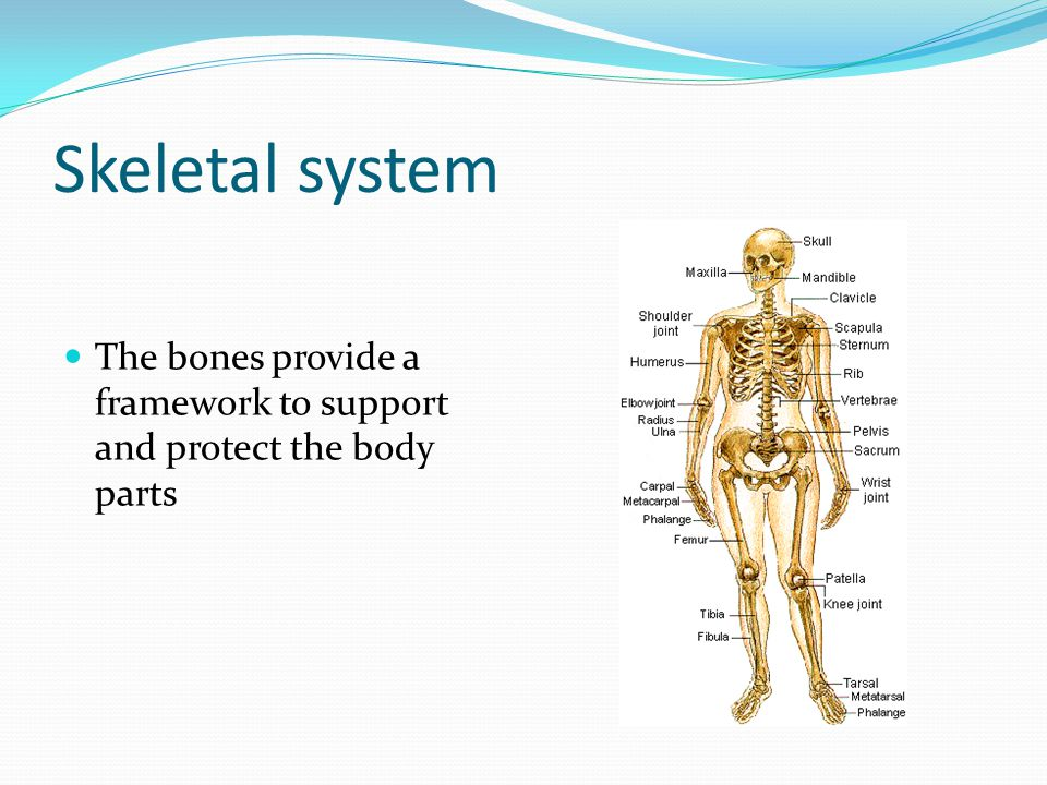 Skeletal system The bones provide a framework to support and protect the body parts