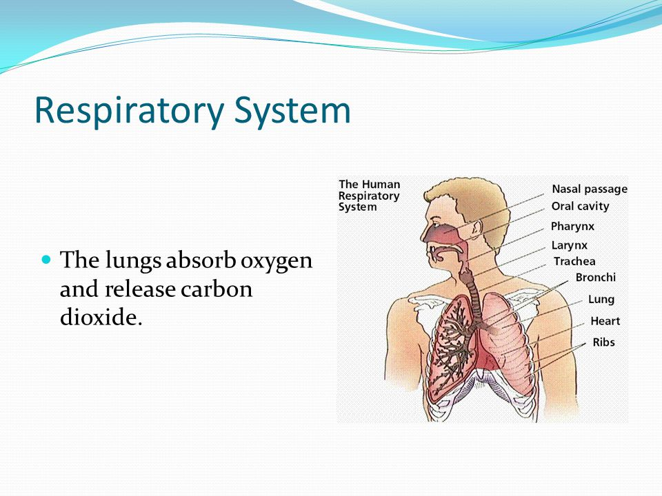 Respiratory System The lungs absorb oxygen and release carbon dioxide.