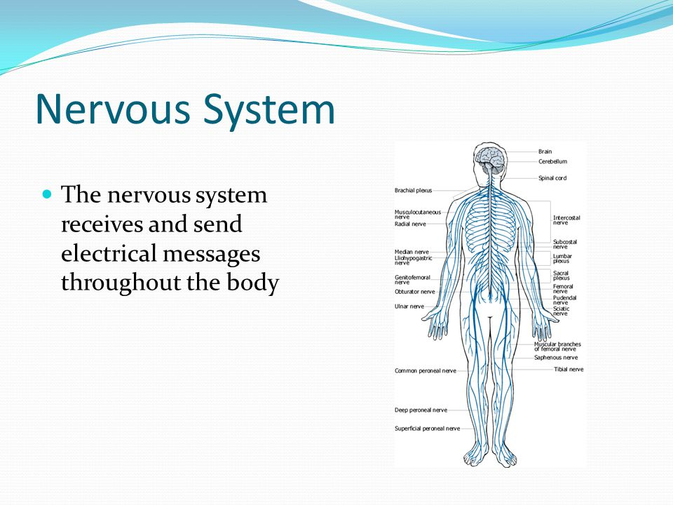 Nervous System The nervous system receives and send electrical messages throughout the body
