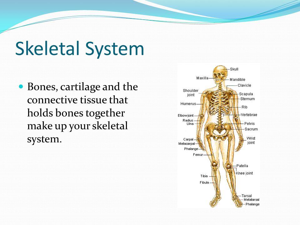 Skeletal System Bones, cartilage and the connective tissue that holds bones together make up your skeletal system.