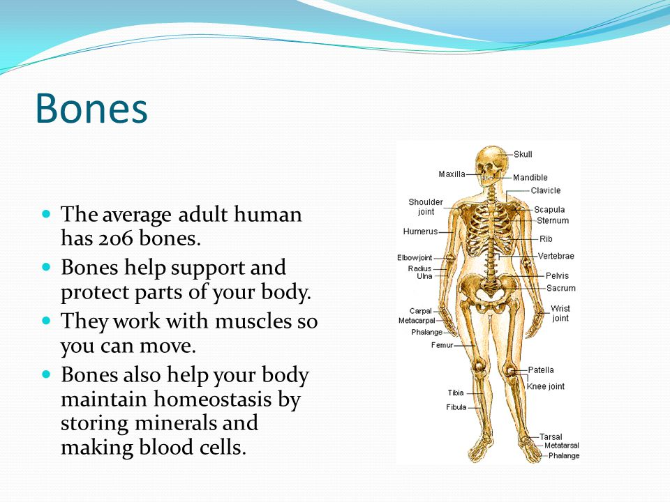 Bones The average adult human has 206 bones.