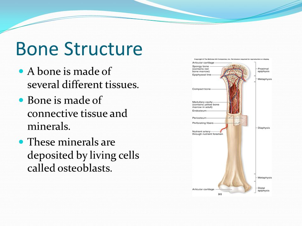 Bone Structure A bone is made of several different tissues.