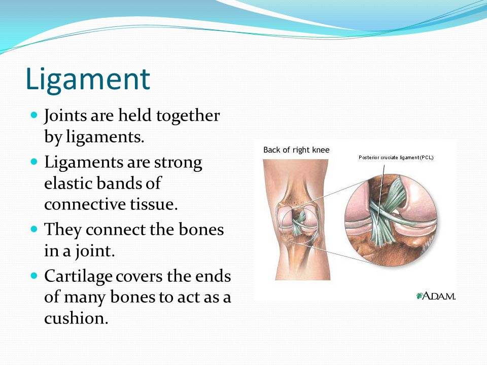 Ligament Joints are held together by ligaments.