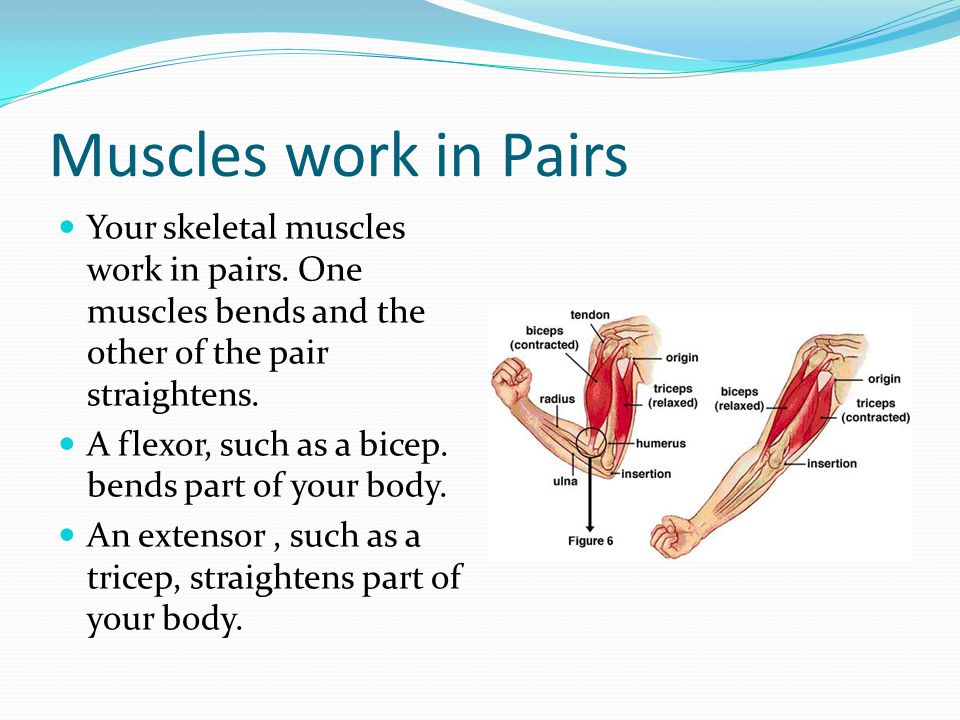 Muscles work in Pairs Your skeletal muscles work in pairs. One muscles bends and the other of the pair straightens.