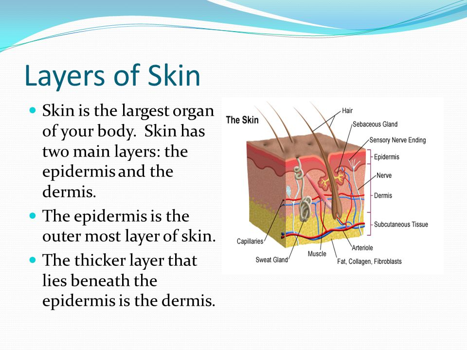 Layers of Skin Skin is the largest organ of your body. Skin has two main layers: the epidermis and the dermis.