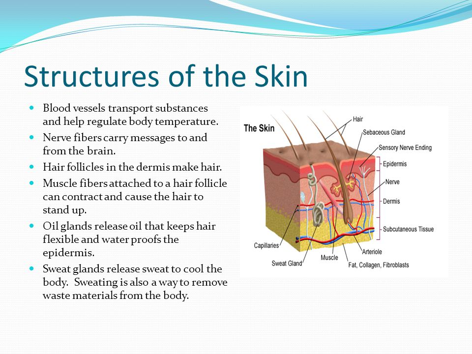 Structures of the Skin Blood vessels transport substances and help regulate body temperature. Nerve fibers carry messages to and from the brain.