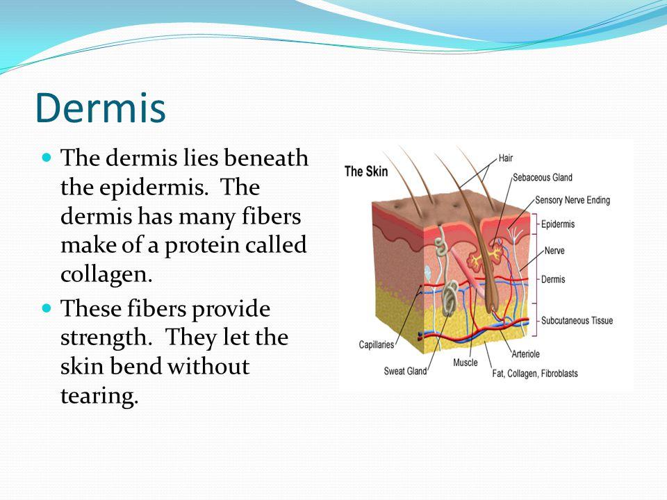 Dermis The dermis lies beneath the epidermis. The dermis has many fibers make of a protein called collagen.