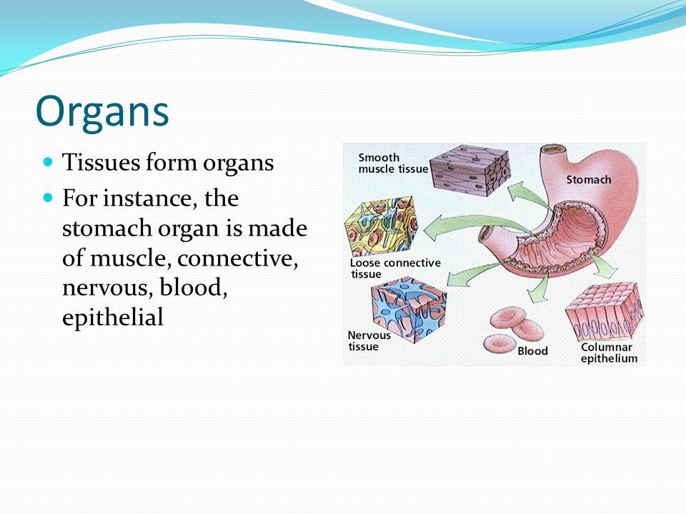 Organs Tissues form organs