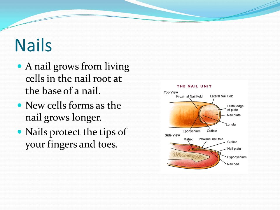 Nails A nail grows from living cells in the nail root at the base of a nail. New cells forms as the nail grows longer.