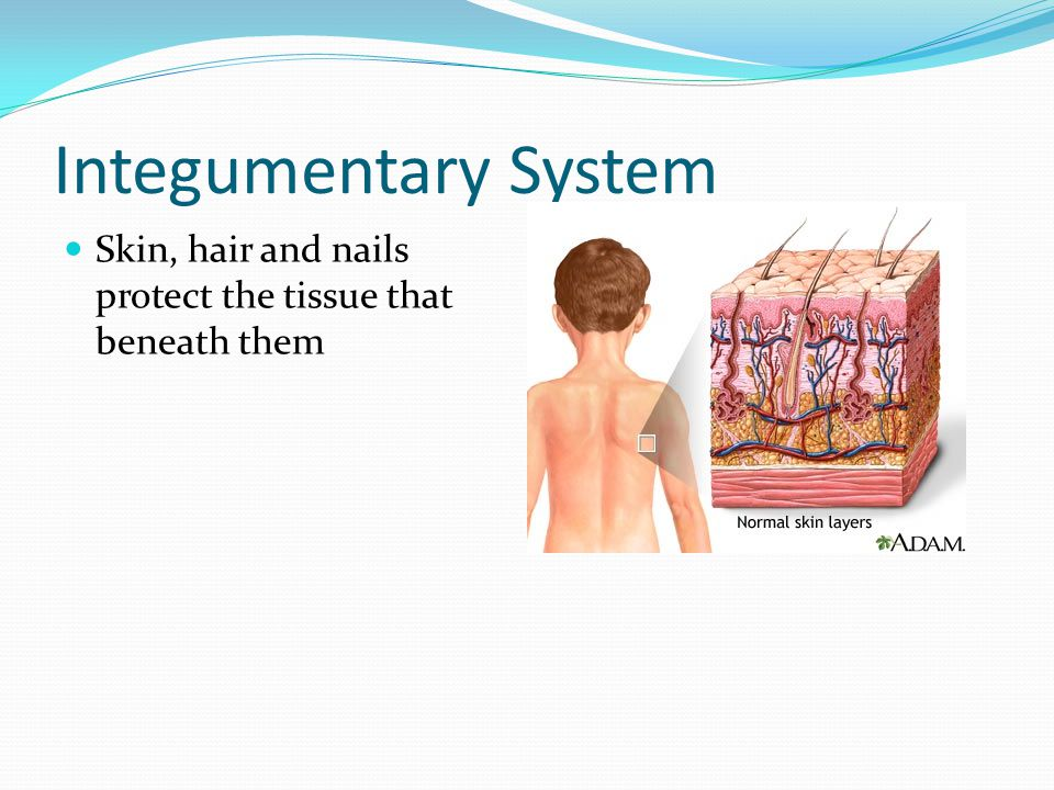 Integumentary System Skin, hair and nails protect the tissue that beneath them