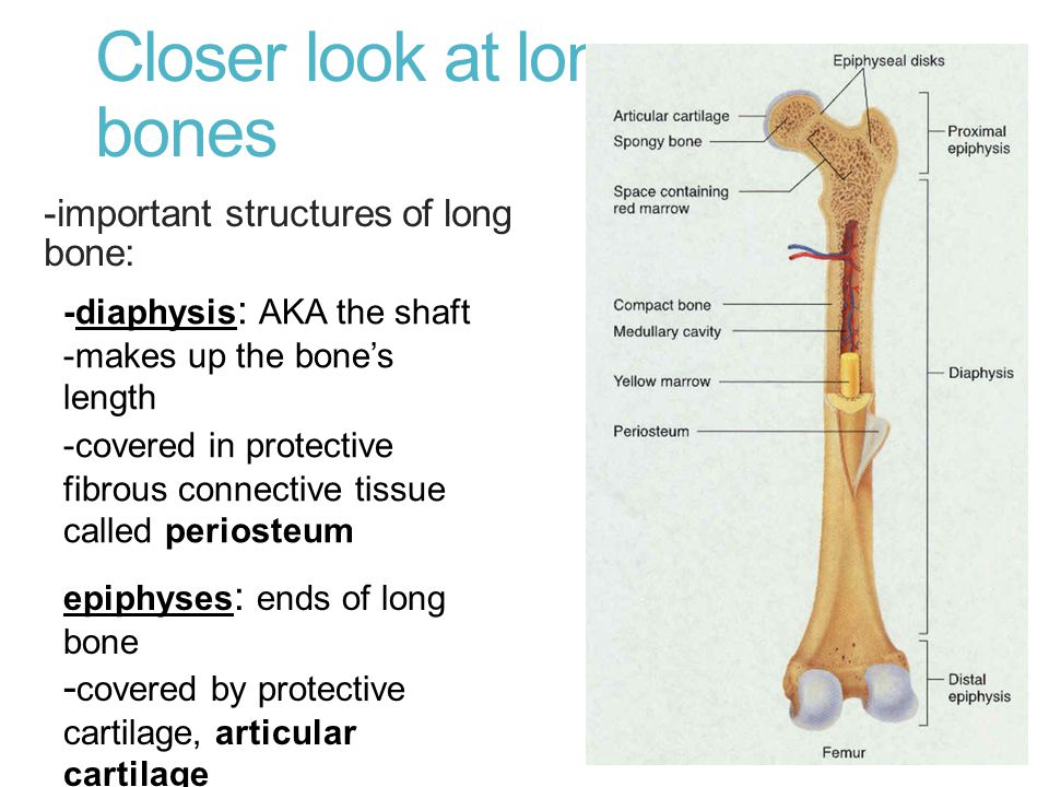 Closer look at long bones