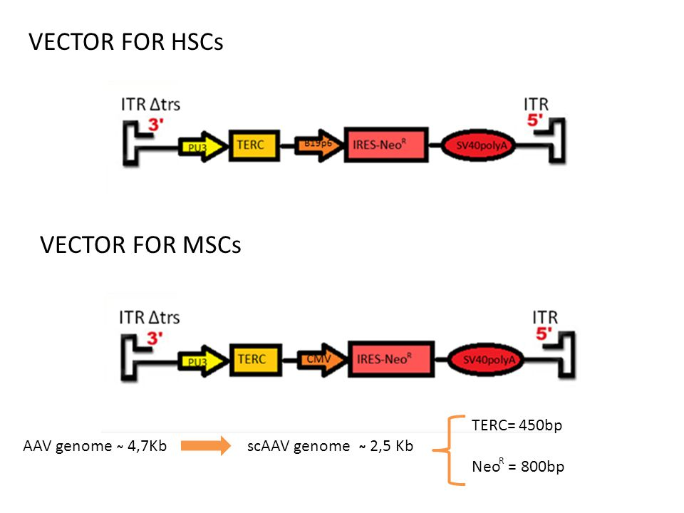 VECTOR FOR HSCs VECTOR FOR MSCs TERC= 450bp Neo = 800bp
