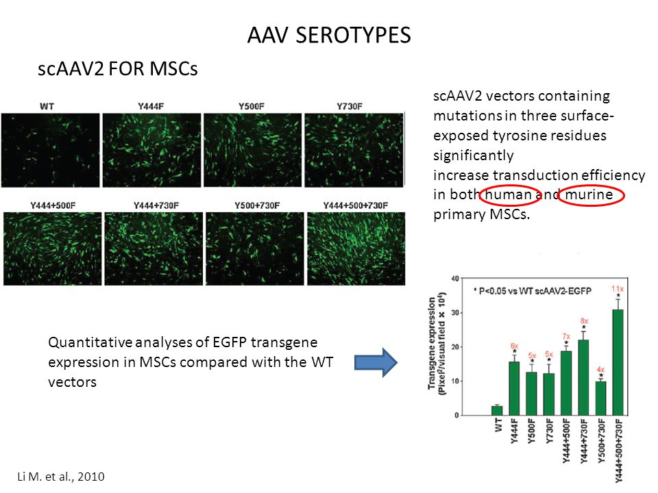 AAV SEROTYPES scAAV2 FOR MSCs
