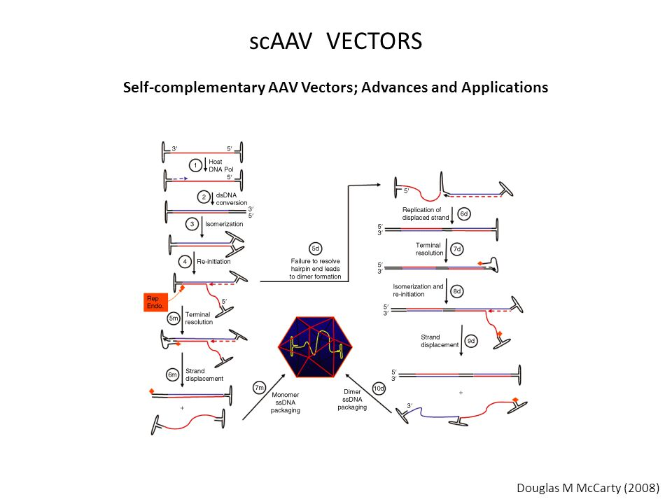 Self-complementary AAV Vectors; Advances and Applications