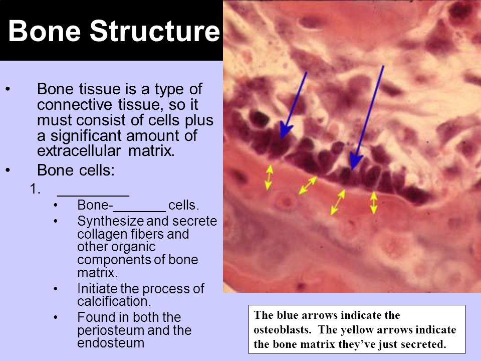 Bone Structure Bone tissue is a type of connective tissue, so it must consist of cells plus a significant amount of extracellular matrix.