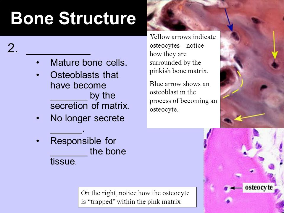 Bone Structure 2. _________ Mature bone cells.