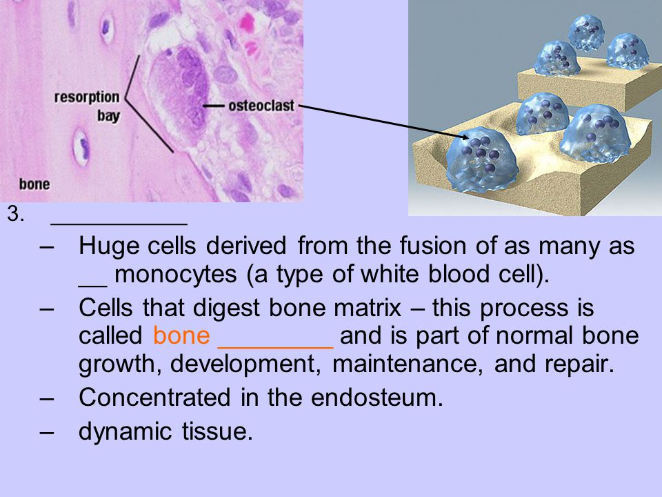 Concentrated in the endosteum. dynamic tissue.