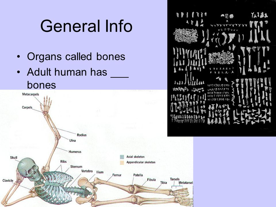 General Info Organs called bones Adult human has ___ bones