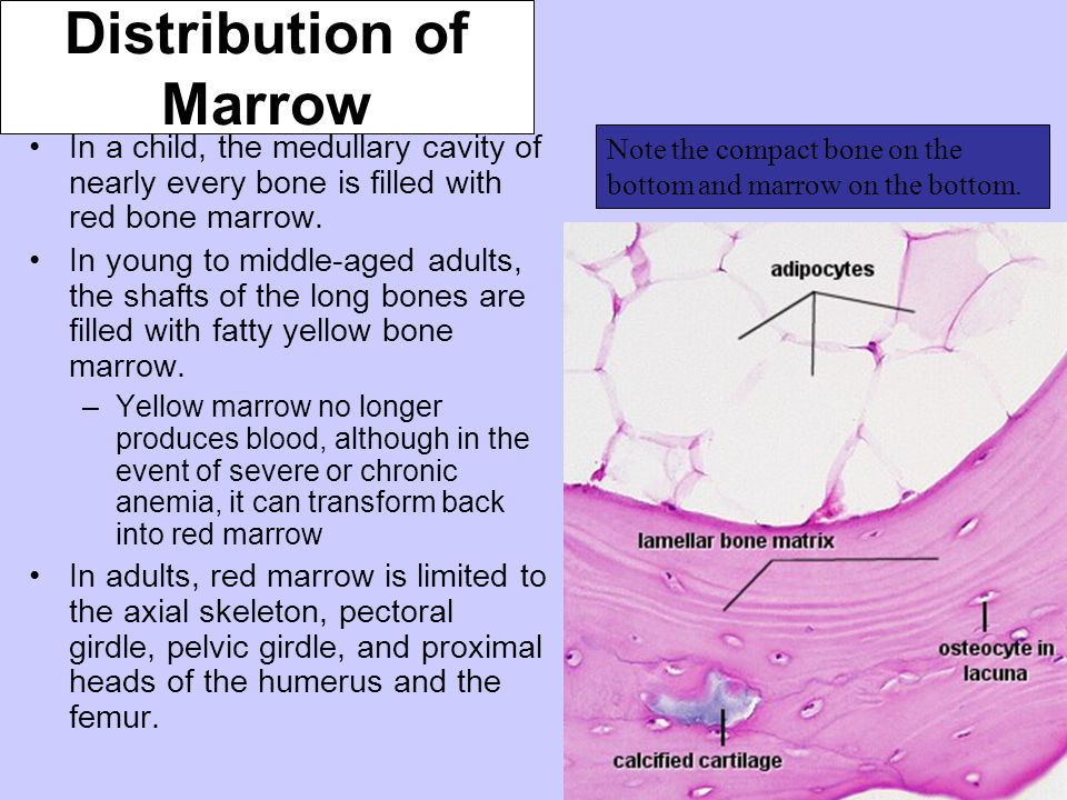 Distribution of Marrow