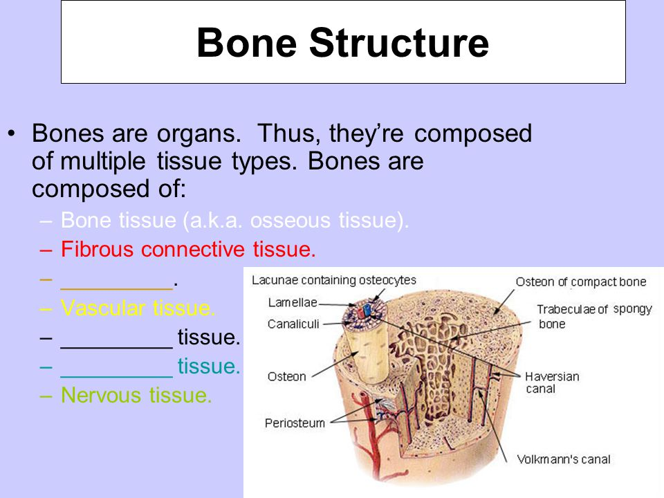 Bone Structure Bones are organs. Thus, they're composed of multiple tissue types. Bones are composed of: