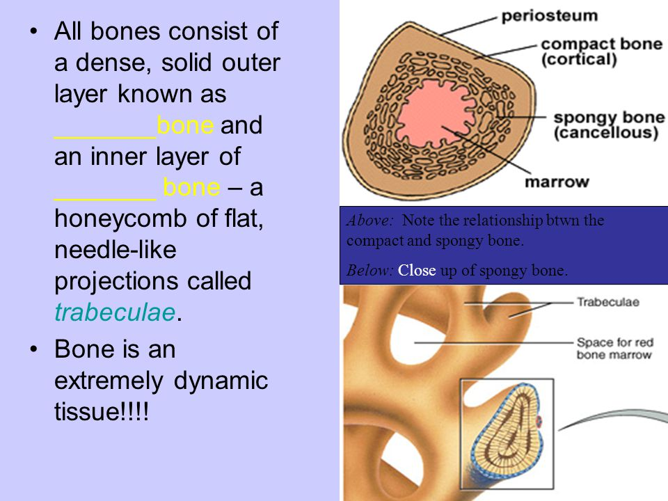 Bone is an extremely dynamic tissue!!!!
