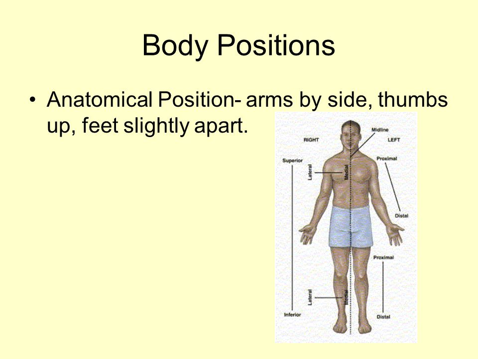 Body Positions Anatomical Position- arms by side, thumbs up, feet slightly apart.