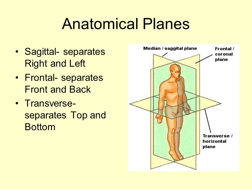Anatomical Planes Sagittal- separates Right and Left