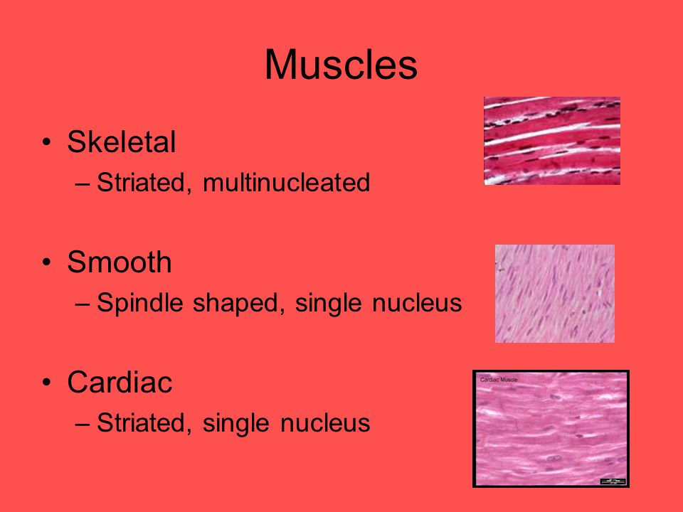 Muscles Skeletal Smooth Cardiac Striated, multinucleated