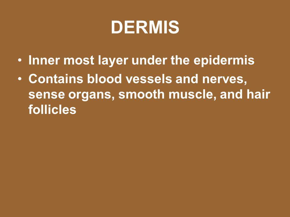 DERMIS Inner most layer under the epidermis