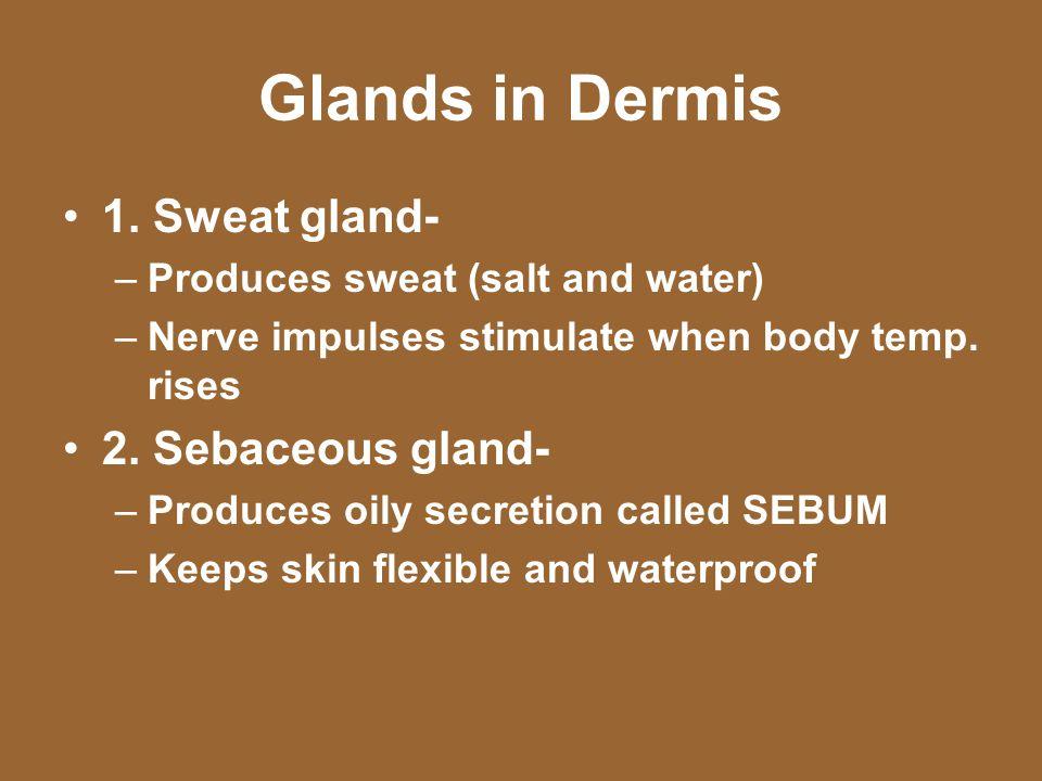 Glands in Dermis 1. Sweat gland- 2. Sebaceous gland-