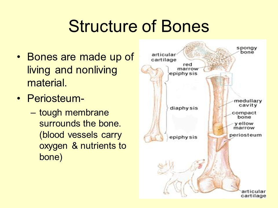Structure of Bones Bones are made up of living and nonliving material.